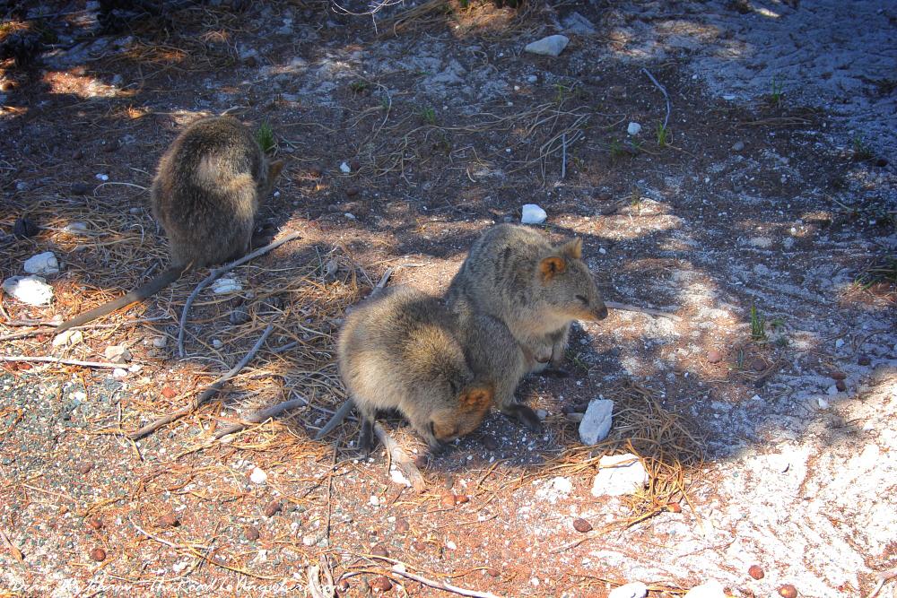 Quokkas napping on Rottnest Island, Western Australia