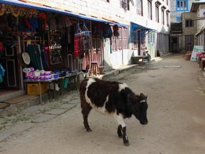 A baby yak in Namche Bazaar, Nepal