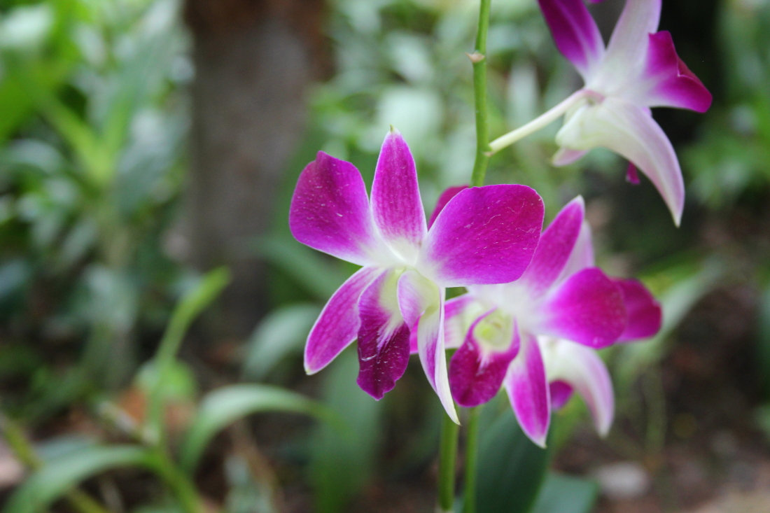 Purple orchid at the Orchid Garden in Kuala Lumpur, Malaysia