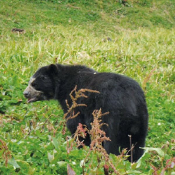 Peruvian Native Spectacled Bear