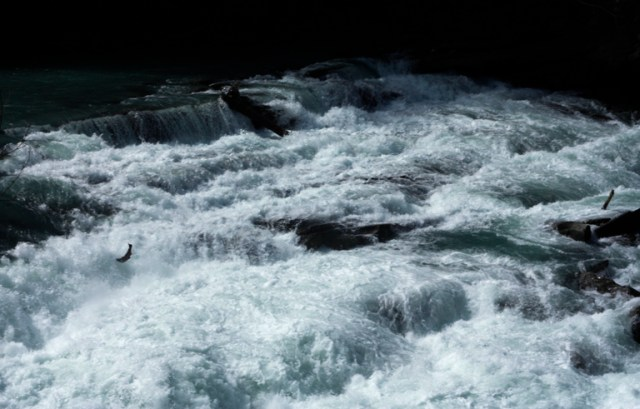 salmon, rearguard, spawn, valemount, jump, jumping, spawning, spawned, jumped, waterfall, hwy 16, mt robson