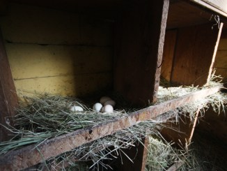 hen chicken egg chickens eggs valemount