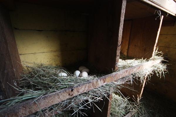 Council extends input on backyard chickens