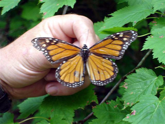 monarch Mick caught