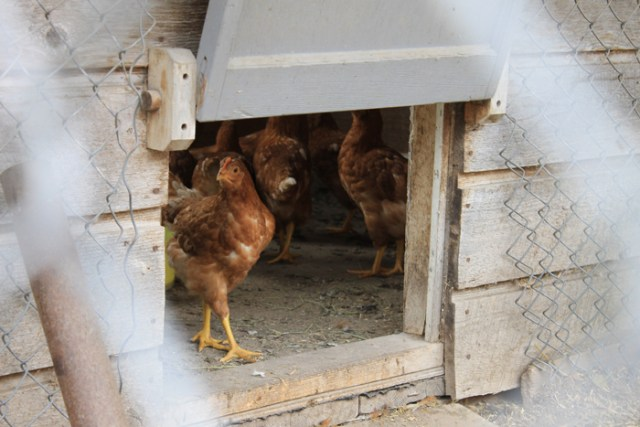 backyard hens chickens eggs (2)