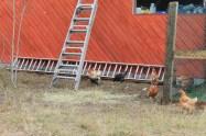 backyard hens chickens eggs (8)