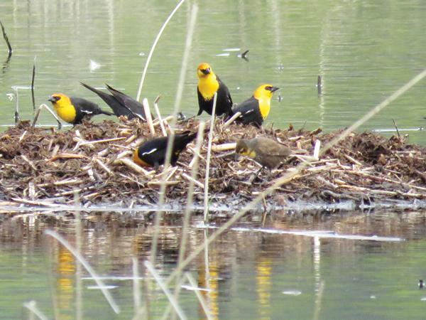 Edna Maclean marsh birds (2)