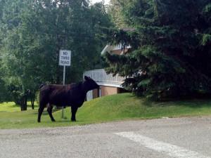 McBride Cow on the Run
