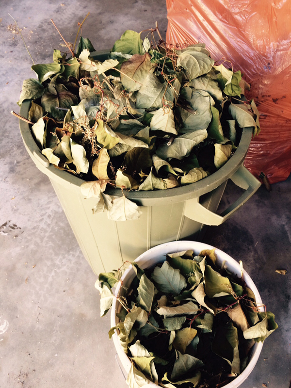 Photo by Korie Marshall  - Buckets of evicted knotweed were collected and dried out at a Valemount home, as the resident was worried it could spread. The root system is the real issue with this plant, and will take persistence to get rid of.