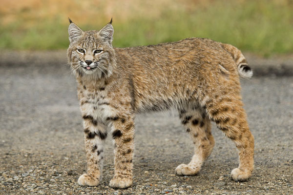 Spotted any alpine bobcats? UNBC researcher wants to know