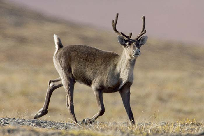 Mayor calls for caribou action, jobs