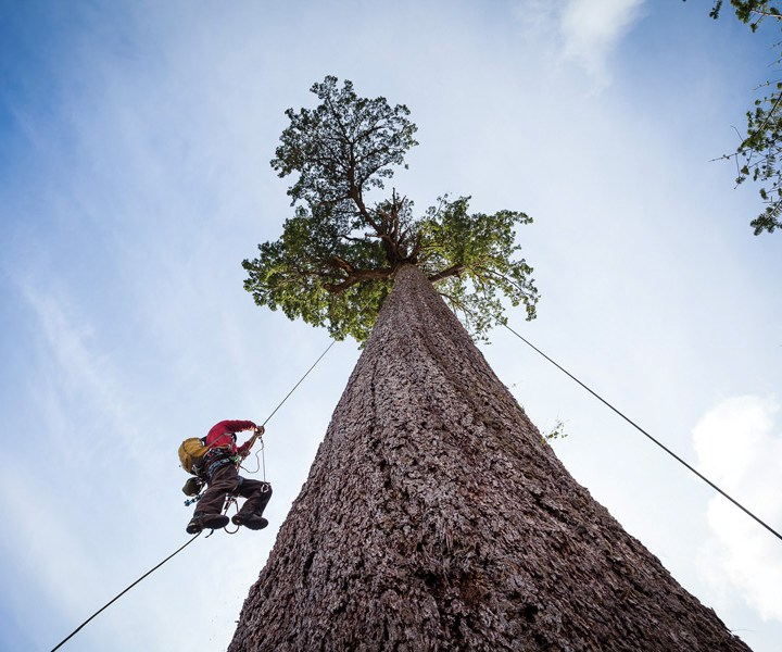 Friendly giants: New big trees protected in B.C.