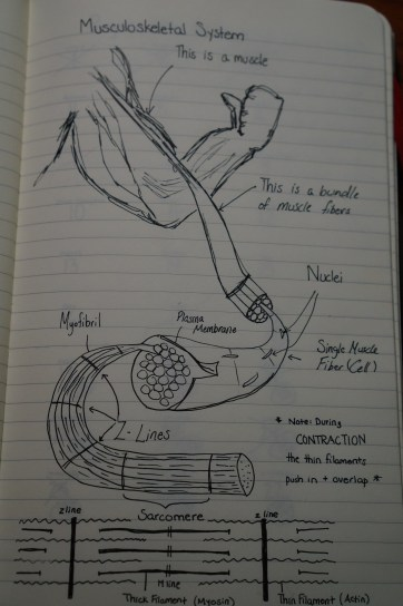 Musculoskeletal System Organizer