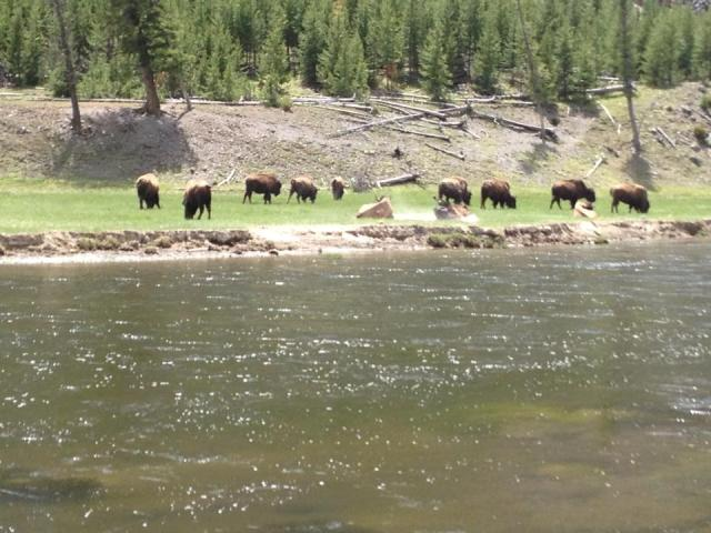 Yellowstone National Park Buffalo
