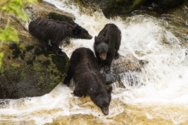 Black Bears fishing for salmon at Anan