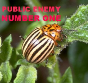 colorado potato beetle PUBLIC ENEMY