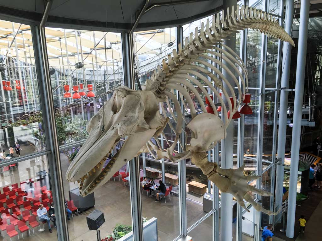 A juvenile orca skeleton hanging above the main entry to the Piazza.