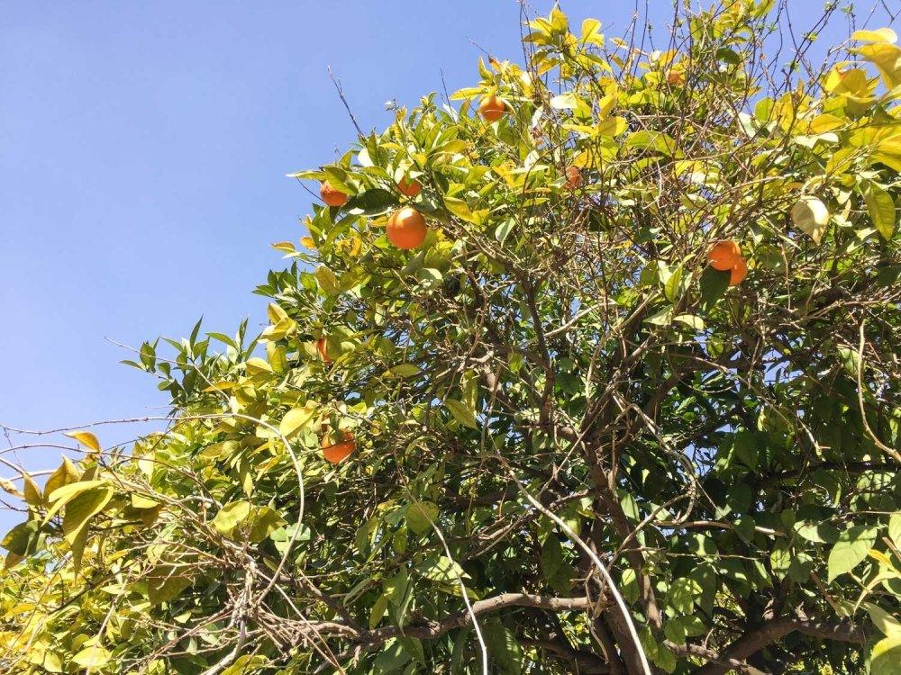 Things to see in Shiraz - Orange tree inside Arg Karim Khan Citadel
