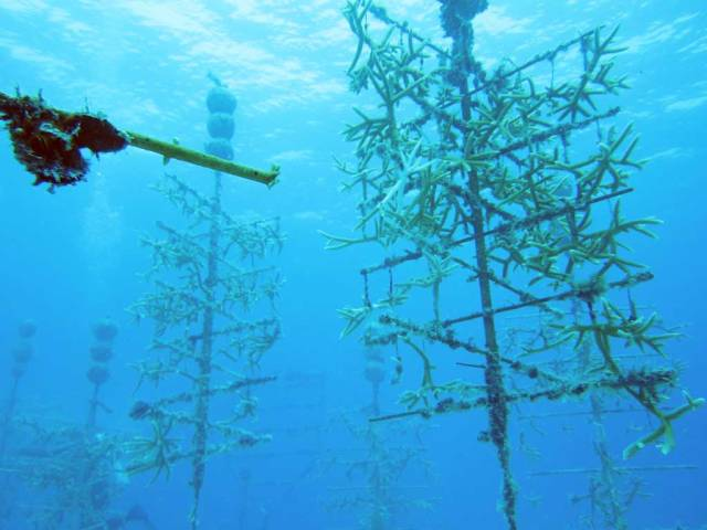 Diving in Key Largo - CRF Nursery