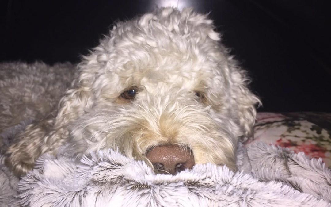 Savvy Pets, 10/18/19: Quincy, the Glucose Retriever