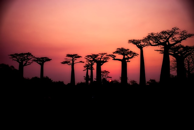 Walking on the Avenue of the Baobabs one of the best things to do in Africa