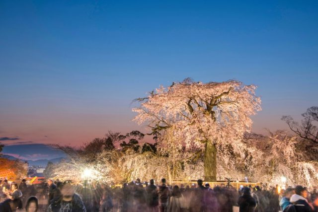 Watching the Sakura in Kyoto is a must