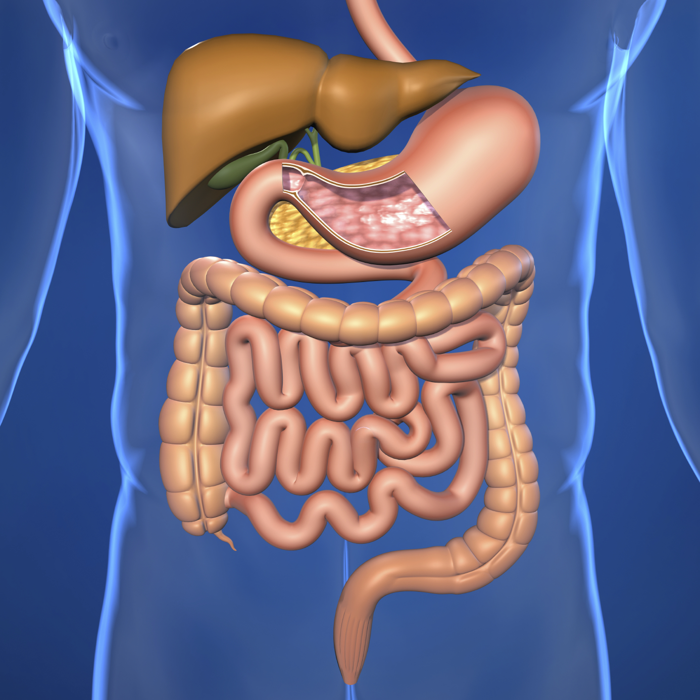 Human Digestive System For Ks1 And Ks2 Children