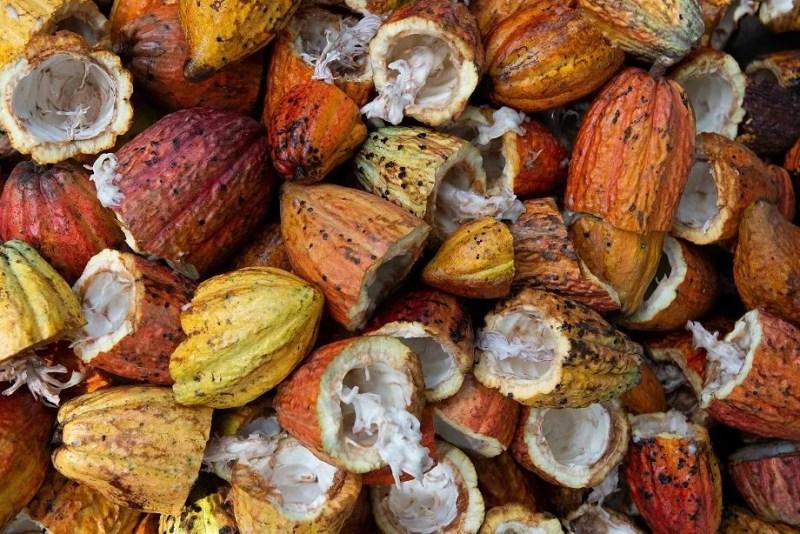 Cabossa, frutto della pianta di cacao