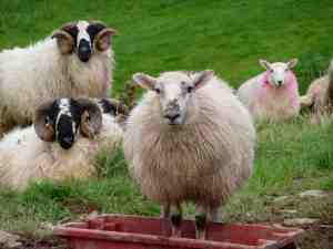 Scottish Sheep Caora