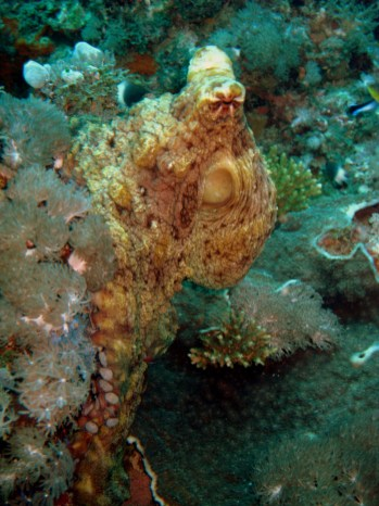 Octopus looking for a mate, Kendwa (1)