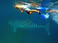 snorkelling and freediving with whale sharks, Mafia (5)