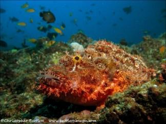Bearded Scorpionfish, Hogwarts 2