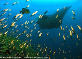 Giant manta sweeps over a cleaning station on Manta Reef cropped