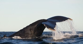 Humpback Whales at The Scuba News