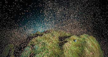 Coral spawning at East End in Grand Cayman on a night dive May 2012. Photo courtesy of Alex Mustard.