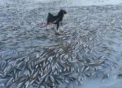 The water in the bay froze so quickly that the fish died suspended. (Photo credit: Ingolf Kristiansen/Facebook)