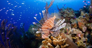 Lionfish are colorful and beautiful, but deadly to Caribbean reef fish because they are voracious eaters. Photo courtesy Ocean Frontiers.