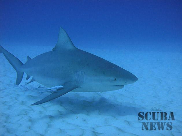 PADI Bull Shark Diver Specialty course - Playa del Carmen