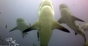 Diving with Bulls in Fiji