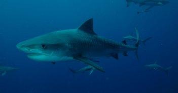 tigershark-ultimate-diving-resized