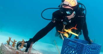 A diver carefully gathers nursery-grown coral for replanting on the reef