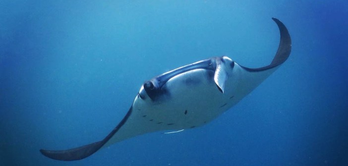 Manta ray in Indonesia - Copyright Vicki Jones