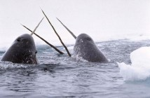 Narwhal Wale