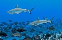 PADI Sharks