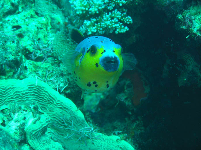 A puffer fish spotted swimming near coral beds