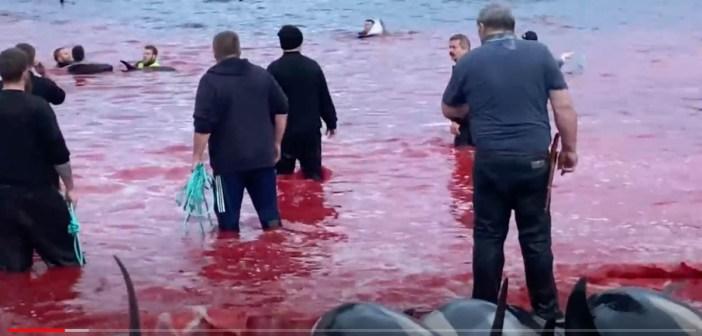 VIDEO: Faroe Islands Dolphin Slaughter – Disturbing Scenes