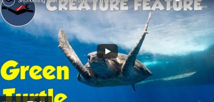 VIDEO FEATURE: Snorkeling with Green Turtles in Thailand