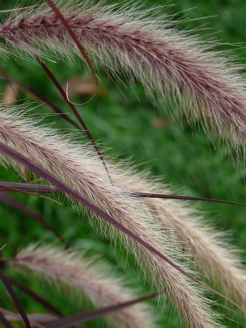 Penisetum