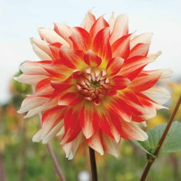 Dahlia 'Penny lane' A lovely two toned Dahlia which flowers well into the autumn