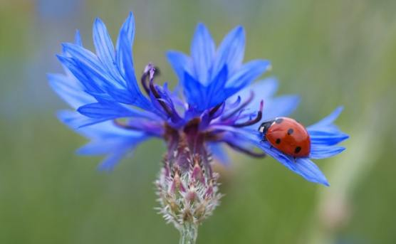 Attact the lady birds